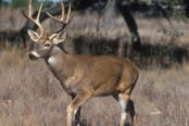 White-tailed_deer1-e1424849450899-174x116.jpg