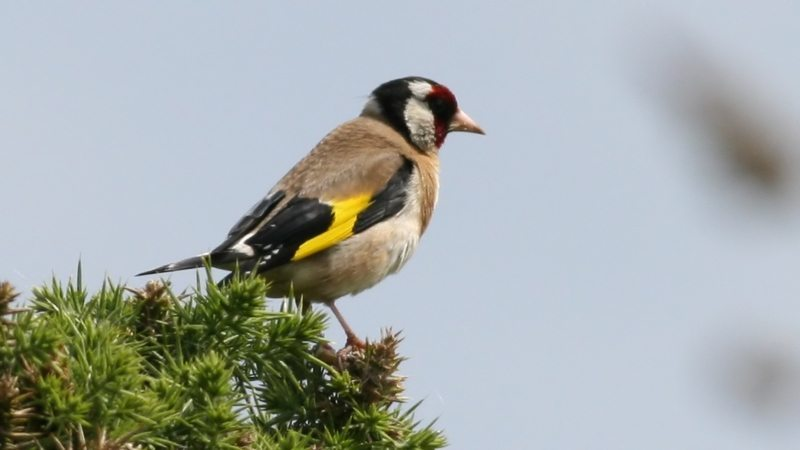 Goldfinch_(Carduelis_carduelis)_(3)